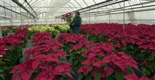 Weather-labor-hurt-Ohio-poinsettias