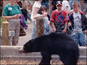 A sloth bear is exhibited at the Toledo Zoo in 1997. A female sloth bear was found dead by its keeper at the zoo on Monday.