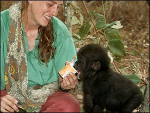 Every afternoon when Belinga comes home from playing in the forest with the other gorillas, Liz Pearson gives her a cup of yogurt.
