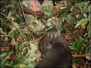 Camille Moukala watches one of the young gorillas forage for tasty shoots. Like most people, he was frightened of the gorillas at first.