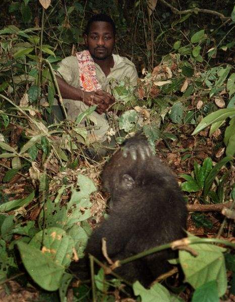 Biggest-peril-gorillas-face-is-extinction-from-hunting-3
