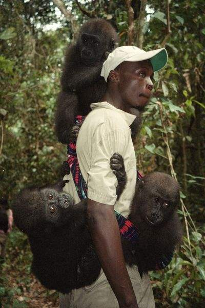 Biggest-peril-gorillas-face-is-extinction-from-hunting