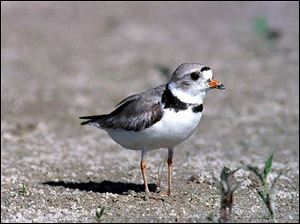 Only 30 nesting pairs of piping plovers are known to live in the Great Lakes region.