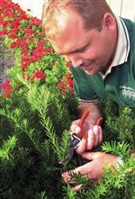 Shrubs-look-best-when-pruned-with-a-light-touch