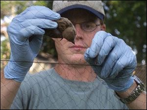 Tim Driver has captured and drawn blook to test for West Nile virus from hundreds of birds.