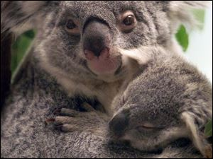 Orana, a 7-year-old mom, and Alkoo, her joey, will have eaten about $44,000 worth of eucalyptus leaves by the end of the year.