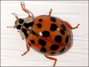 Asian lady beetles range from orange to red. Some have spots, and some don't.