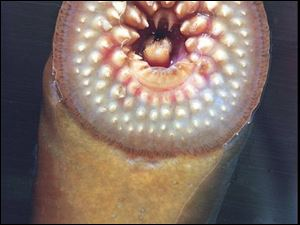 A vampire-like sea lamprey attached to a piece of glass exposes the teeth it uses to penetrate the scales and skin of a fish in its quest for blood. Sea lampreys, which began entering Lake Ontario in the early 1800s, have virtually wiped out lake trout.