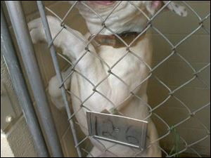 A pit bull struggles to get out of his pen at the county dog warden's headquarters.