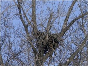 A bald eagle guards its nest on the grounds of Camp Perry near Port Clinton.