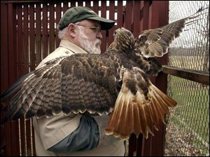 Ron Bowerman moves a red-tailed hawk at his home in Van Buren, Ohio.