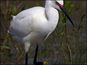 ROV Migration B  May 10, 2004-- A snowy egret showing off beautiful breeding plumage looks for a meal at Magee Marsh Monday morning . The spring migration is in full swing along the Northcoast. Blade photo by Andy Morrison