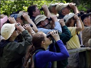ROV Migration A  May 10, 2004-- Birders stand shoulder-to-shoulder as they train their binoculars toward the trees while looking for songbirds on the boardwalk at Magee Marsh Monday morning. With the migration in full swing, Magee is once again a hotspot for birds and birders. Blade photo by Andy Morrison