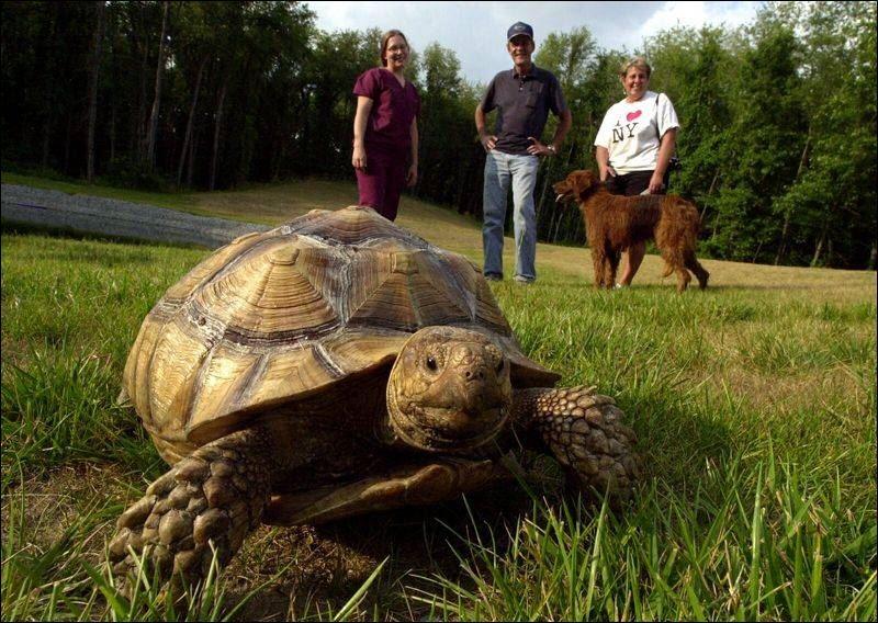 Pet tortoise satisfies itch to wander - Toledo Blade