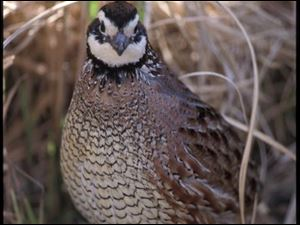 The northern bobwhite quail, nearly wiped out in northern Ohio by weather and mowing practices, is being reintroduced.