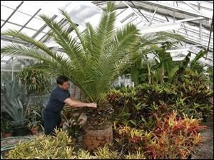 Tom Speir, the greenhouse foreman for Sandusky, prunes a palm tree that will give the city the look of a tropical paradise during the summer. Sandusky has won national recognition for its displays of tropical plants and floral murals.