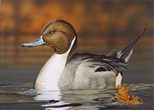 B-G-s-Clair-paints-best-design-for-06-duck-stamp