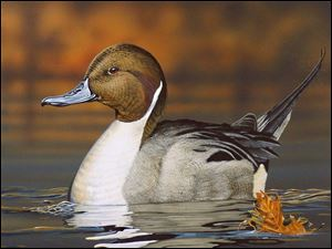Gregory Clair's rendition of a northern pintail won the Ohio Division of Wildlife's wetland habitat stamp design contest.