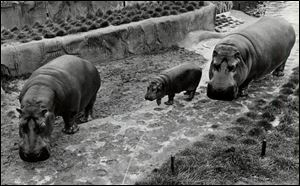 Cupid, left, was found dead in 2003 in his enclosure, his blood splashed on the walls. Dr. Reichard said he thought a keeper had inadvertently shut a powered gate, not knowing that Cupid had fallen, and the gate had crushed the animal's head.