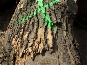 The emerald ash borer tunnels into trees, weakening them until the point where they eventually die.