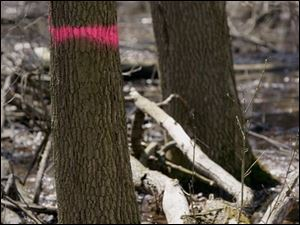 Pearson Metropark has 2,000 ash trees slated to be cut down and destroyed because of the infestation by the emerald ash borer.