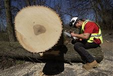 Removal-of-20-000-trees-will-close-down-Pearson