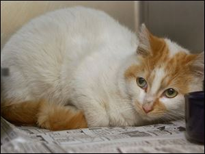 This unneutered male cat was brought to the Toledo Animal Shelter, which adopts out about 600 cats a year.