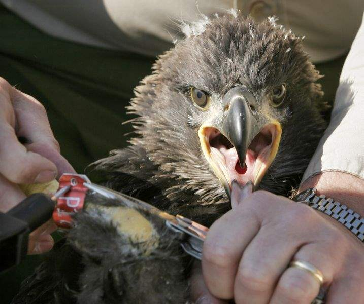 Baby-eagle-wows-public