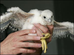 This peregrine chick was banded and had blood samples drawn before being returned to its nest atop the Commodore Perry.