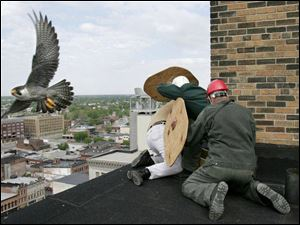 The concerned mother peregrine falcon flies past her nest as biologist Dave Scott, shielded by Pat Baranowski and Bill Roshak, temporarily removes her four chicks for banding.
