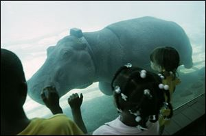 Emma, a hippopotamus at the Toledo Zoo, wears a telemetry device that zoo officials are testing to track the hippos.