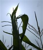 Corn-soybean-yields-down-in-much-of-Ohio