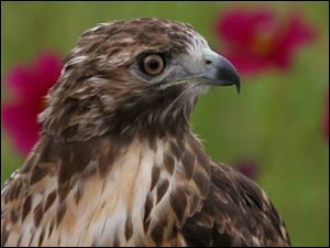 A male red-tailed hawk was among the many migrating raptors that could be viewed at Hawkfest 2005.