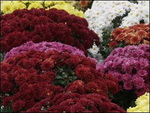 Mums provide dramatic shots of garden color in autumn.