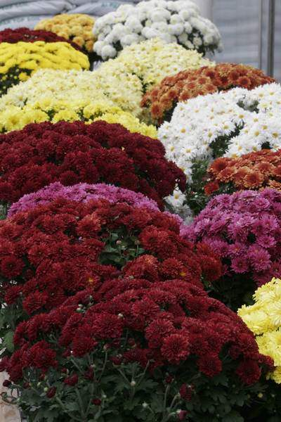 It-s-a-mixed-bouquet-for-sales-of-autumn-plants-at-area-stores-2
