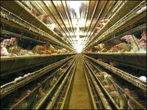 These rows of egg-laying hens are in a huge Ohio Fresh Eggs barn in Richwood, Ohio.