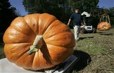 WEIGHING-IN-ON-THE-GREAT-PUMPKIN