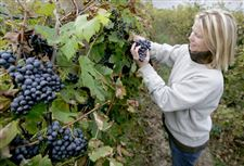 OHIO-GRAPE-HARVEST-LOOKING-GOOD-2