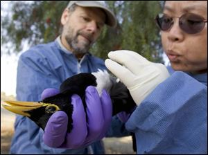 Dr. Walter Boyce, left, and Grace Lee of the University of California, Davis, check a magpie for avian flu. They are part of a large network of federal, state, and private industry groups doing extensive monitoring and surveillance along the major migratory flyways.