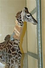 Young-giraffe-ailing-again-as-2-vertebrae-in-neck-start-to-fuse
