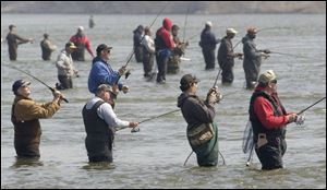 Fishermen wade into the Maumee River to try their luck during the annual walleye run.