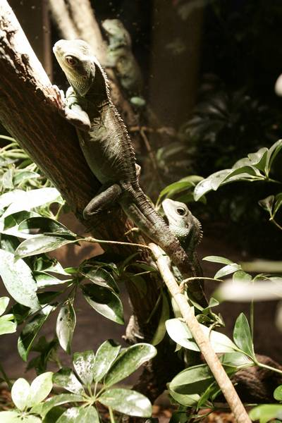 Iguana asexual reproduction video