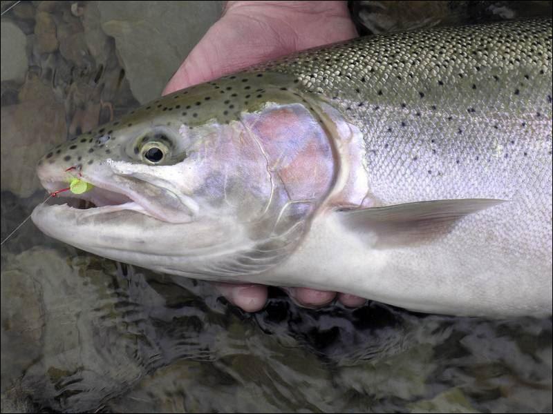 Steelhead fishing means battling elements toledo blade for What is steelhead fish