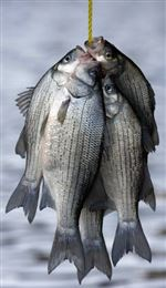 It-s-time-for-white-bass-runs-in-area-rivers