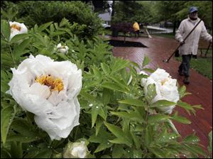 Mona Macksey prepares to plant flowers at the Toledo Botanical Gardens, where tree peonies soak up the rain. Ms. Macksey says rainy weather can be a wonderful time for planting in the garden.