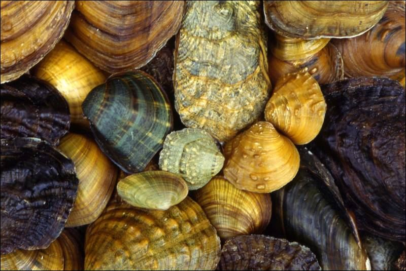 Freshwater mussels can range in size from a peanut weighing less than    Freshwater Mussels