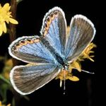 Rare-butterfly-could-be-back-by-early-July