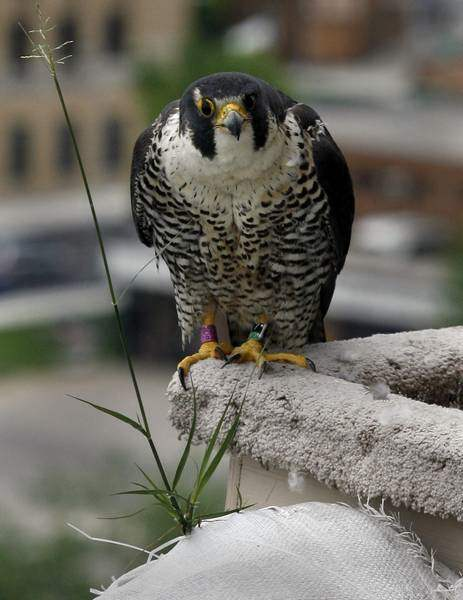 Peregrine-falcon-banded-in-rooftop-close-encounter-2