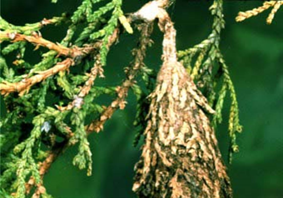 Ornaments' are homes to bagworms | Toledo Blade