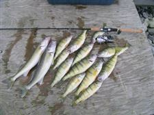 Lake-Erie-yellow-perch-haven-t-gone-with-the-wind